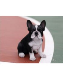 Pet Pals - French Bulldog Puppy